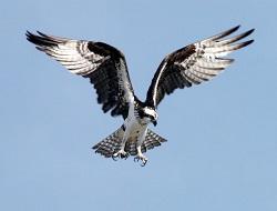 Seelentier Adler