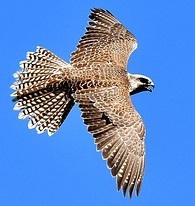Seelentier Falke