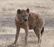 Seelentier Hyäne