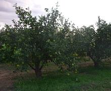Bild2: Orangenbaum-Plantage